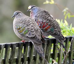 A cold and wet day in Albany,WA, the pigeons had lined up seeking some tucker!  A lovely pair of Common Bronzewing Pigeons stood out!  Not quite enough DOF :)