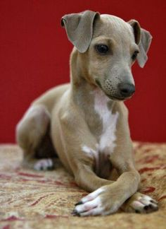 Italian Greyhound Puppies                                                                                                                                                     More