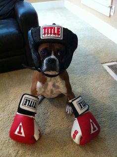 Cute! get  it? He's a boxer.. :)