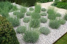 lavender in Ulf Nordfjells garden, Chelsea. Gardenista alternatively shorn and blooming lavender