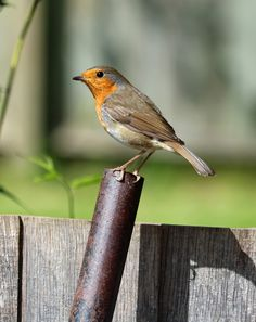 Picture of a robin bird.