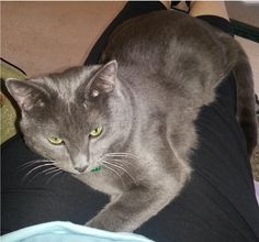 Lost Cat - Russian Blue - Roswell, GA, #Octaviusl (Windflower Trace & Pine Grove Rd, Roswell, GA 30075)  #Fulton Co. , #Lost #Cat 03-20-2016!, Male #Russian Blue / Domestic Short Hair Mix Grey/Octavius might have lost his collar. The two sightings we have received reported a cat without one. CONTACT Phone: (678) 898-2772  To see this pet's location on the Helping Lost Pets Map: http://www.helpinglostpets.com/v2/?pid=1065636 More Info: http://www.helpinglostpets.com/petdetail/?id=1065636