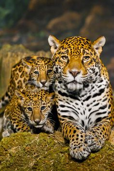 Jaguar Twins with Mom