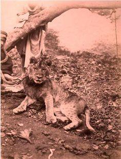 Un lion de l'Atlas en 1920