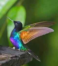 colibri immagini - Cerca con Google