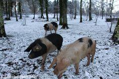 Porcos celtas www.plantamus.es