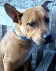 ROCCO is an adoptable Pit Bull Terrier Dog in York, PA. POSTED 1/23/13  Looking for a friend???  This little bruiser's as cute as a button and all boy!!!  Rocco is an active, young, energetic rough an...