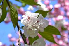 Cherry Blossoms | central park