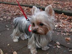 The Popular Pet and Lap Dog: Yorkshire Terrier - Champion Dogs I Love Dogs, Cute Dogs, Top Dog Breeds, Yorky, Lap Dogs, Working Dogs, Little Dogs, Beautiful Dogs, Dog Life