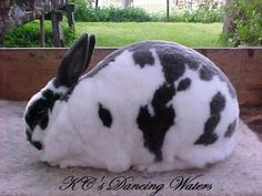 This  is what we call broken pattern in rabbit breeds,  broken is any solid colors with white.  For example broken red white, red, broken black black and white etc.  This is a Mini Rex.