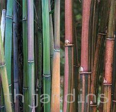 APRIL Himalayacalamus falconeri (Candy Stripe or Candy Cane Bamboo)