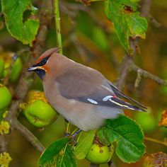 Bohemian Waxwing (Bombycilla garrulus) is a starling-sized passerine bird that breeds in the northern forests of Eurasia & North America.