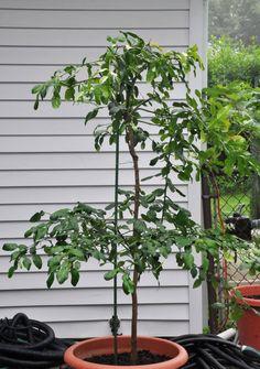 kaffir lime tree - Google Search