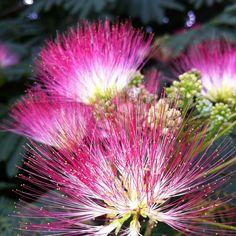 Mimosa-Flowers-HD-2048x2048.jpg 2,048×2,048 pixels