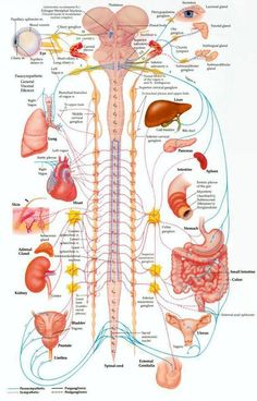 Your spine protects the wiring to all of the organs of your body. Check out what a subluxation of your spine may be affecting.