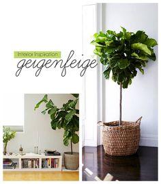 {Interior Inspiration} Geigenfeige - Ficus Lyrata