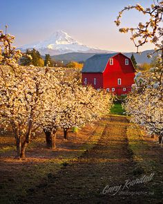 Red Barn and Pear Orchard (Mount Hood in the background), Hood Valley, Oregon. Photo: Gary Randall, via Flickr