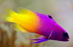 fish yellow and purple
