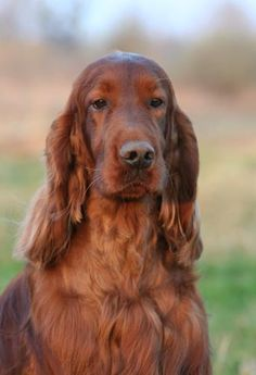 The Irish Setter - a noble breed.