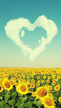 Sunflower Love Field - Wallpaper for iPhone and Android Field Wallpaper, Iphone 5 Wallpaper, Love Wallpaper, Iphone Backgrounds, Galaxy Wallpaper, Cellphone Wallpaper, Sunflowers And Daisies, Wild Flowers, Wallpapers For Mobile Phones