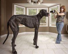 Yaşayan en uzun köpek: Denise Doorlag ve ailesine ait Zeus isimli bu Danois cinsi köpek 112 cm uzunluğunda. (Kaynak: msn.com.tr)