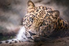 Amur Leopard Stare - Helene Hoffman