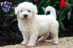 Carter – Bichon Frise Puppies for Sale in PA | Keystone Puppies