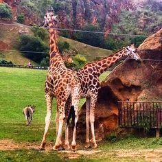 #girafas #ñu #parque #naturaleza #cabárceno #cantabria #cantabriainfinita #max #galla #feliz #verde