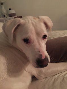 Amazing Dogo Chubby Adorable Dog - a55910447ca9b8275d7d0c4e94036d2f--so-cute  Graphic_306522  .jpg