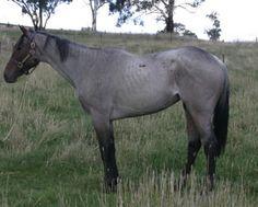 Lavender Fields  2005 roan thoroughbred (Bletchicano x Slip Catch, Catch A Bird)