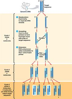 PCR, Polymerase Chain Reaction.... One the Most Widely Used Techniques...A wonderful tool to have to Increase DNA counts or to Identify DNA Desired DNA sequences! :D