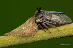 Treehopper and Nymph by melvynyeo.deviantart.com on @DeviantArt