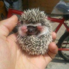 My friend got a baby hedgehog