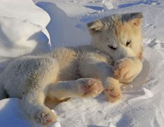 Another snow puppy. Really Cute Puppies, Puppy Love, Big Dogs, Dogs And Puppies, Greenland Dog, Dog Breed Info, Cat Vs Dog, Snow Dogs, Sled