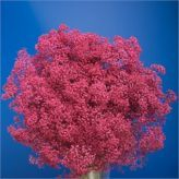 Buy wholesale Gypsophila dyed cerise for delivery direct to any UK address - wholesaled in Batches of 25 stems. Ideal for wedding flowers, floral design & corporate events. No minimum order required - Floral accessories also available. Cut Flowers, Fresh Flowers, Florist Supplies, Gypsophila, Corporate Events, Event Planning, Wedding Flowers, Floral Design, Things To Come