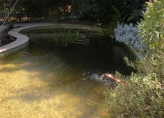 Convert your pool into a natural pond we have actually for Convert koi pond to pool
