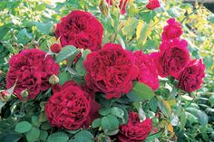 William Shakespeare - my favourite David Austin Rose :) William Shakespeare, David Austin Rosen, Rose Nursery, Rose Williams, Most Popular Flowers, Heirloom Roses, Types Of Roses, Plant Catalogs, Cabbage Roses