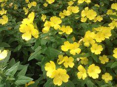 Sundrops/evening primrose - they close up at night!