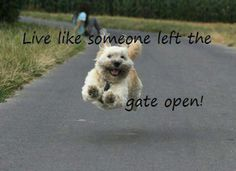 Live life like the gate was left open! This is a Soft-Coated Wheaten Terrier. I have one and she looks like this when running. They are so cute and the Peter Pan of the dogs!