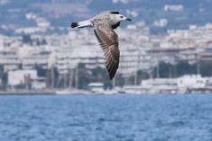 Γλάρος μπροστά στην πόλη #3. (Αύγουστος 2018) Greece, Animals, Greece Country, Animales, Animaux, Animal, Animais