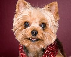 really cute yorkie puppy