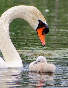 Mute Swan (Cygnus olor) with cygnet Beautiful Swan, Beautiful Babies, Beautiful Birds, Animals Beautiful, Swans, Cute Baby Animals, Animals And Pets, Animal Babies, Nature Animals