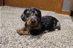 Mini Dachshund Puppies for Sale | Pawrade.com Dachshund Puppies For Sale, Mini Dachshund, Dachshunds, Dapple Dachshund Miniature, Puppy Mills, New Puppy, Shiba Inu, Small Dogs, Savannah Chat