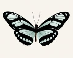 Large Butterfly Art Print Teal Aqua Black by RockyTopPrintShop, $135.00