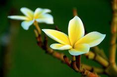 FLOWERS plumeria by Brian Howell, via Flickr kauai