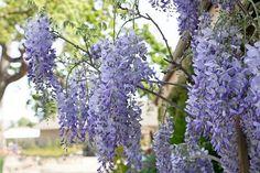 Jak přimět vistárii kvést Wisteria Sinensis, Paradise, Fruit, Plants, Gardening, Drink, Decoration, Food, Decor