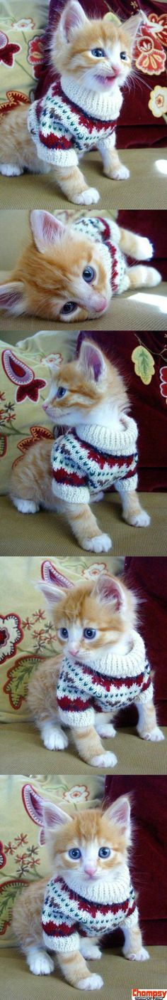 Cat in a sweater