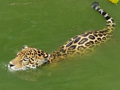 Jaguar, Giraffe, Wildlife, Anime, Fabric Flowers, Kittens, Display, Backgrounds
