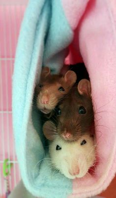 Rats love company, even when they're treated like a mat Cute Rats, Cute Funny Animals, Cute Baby Animals, Animals And Pets, Strange Animals, Pet Rodents, Hamsters, Dumbo Rat, Rat Toys