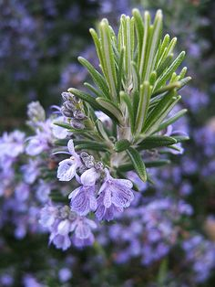 Rosemary in the herb garden for culinary dishes and alternative medicine. #herbs #altmed #gardening #rosemary #herbchat